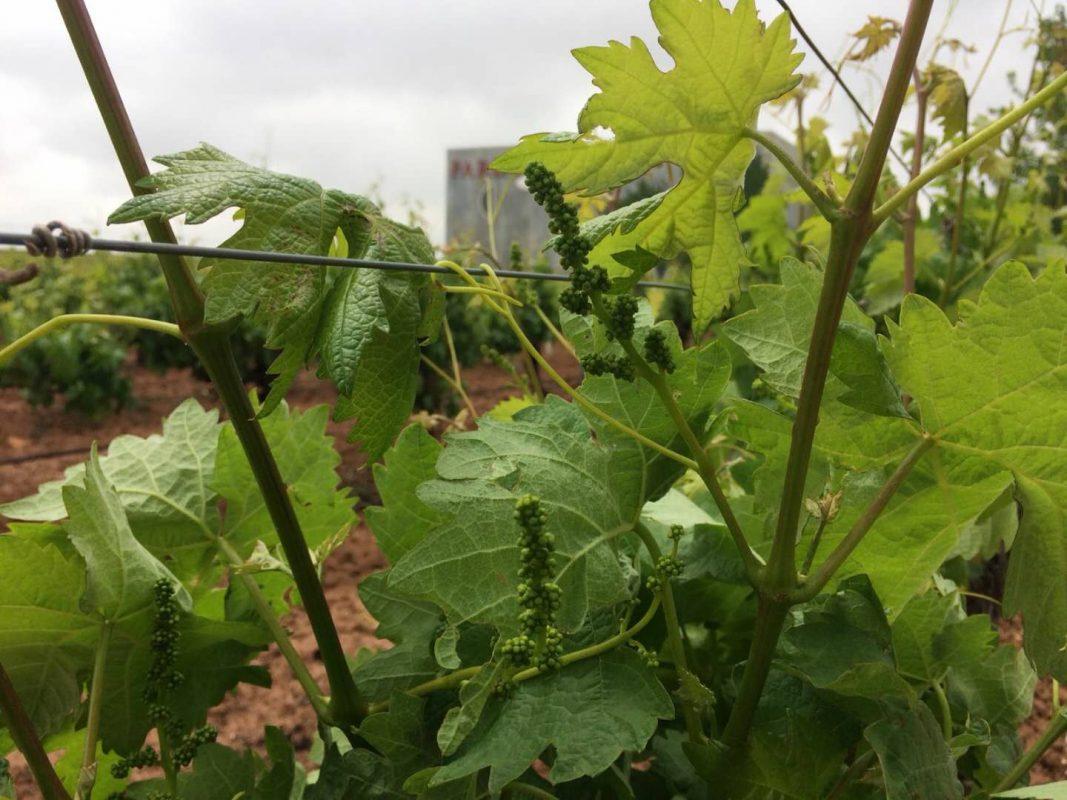 Binnenkort Tolosa wijn